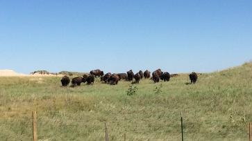 Buffalo / Bison